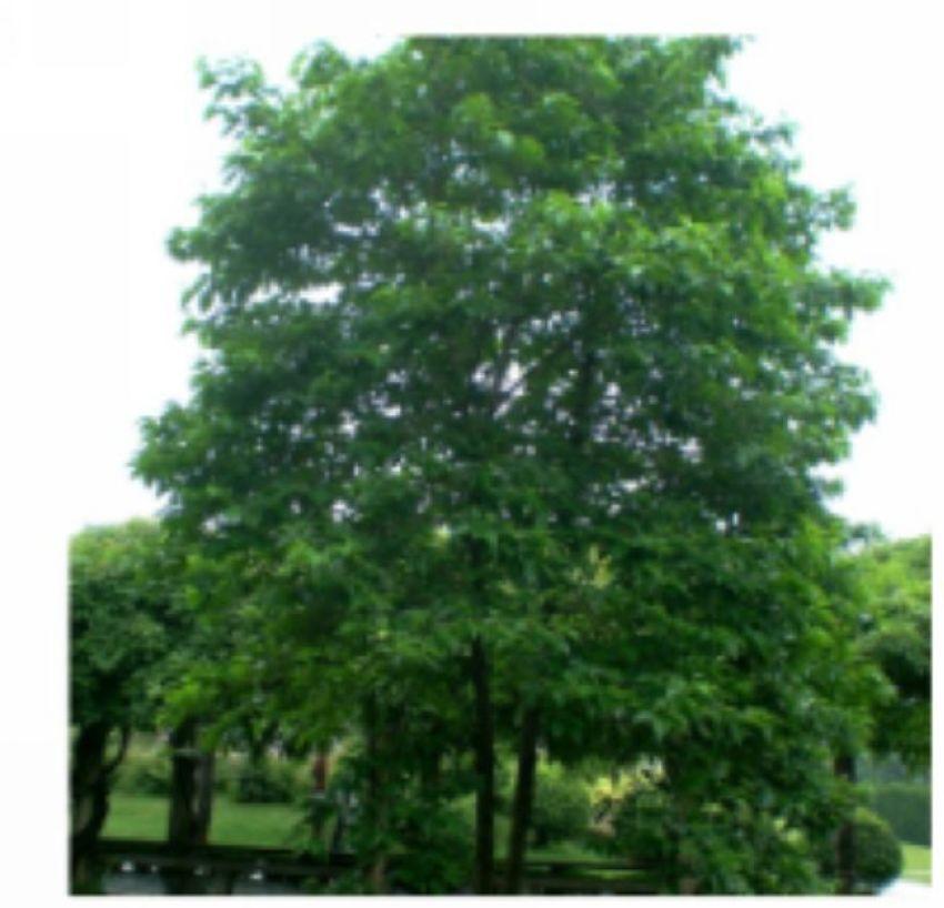 红柞木树图片
